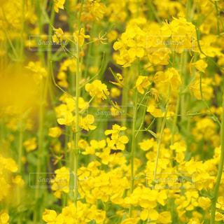 花,春,黄色,菜の花,イエロー