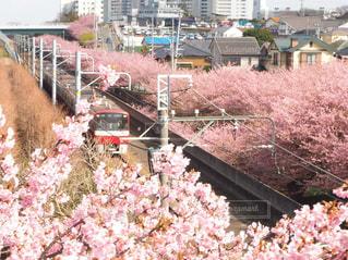 花,桜,屋外,電車,樹木,草木,桜の花,さくら,京浜急行