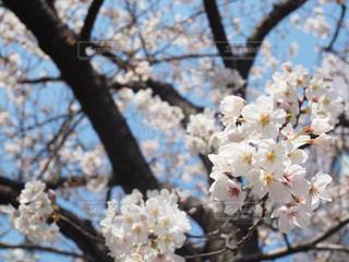 空,花,春,桜の花,さくら,ブルーム,ブロッサム