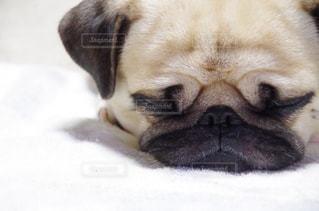 犬の写真・画像素材[239067]