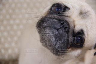 カメラを見て茶色と白犬の写真・画像素材[1184777]