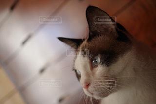 カメラを見ている猫の写真・画像素材[1254940]