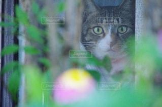 その口を開いて猫の写真・画像素材[1259760]