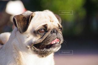 カメラを見て茶色と白犬の写真・画像素材[1263985]