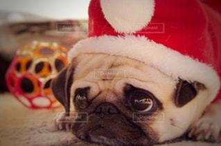 近くの帽子をかぶった犬の写真・画像素材[1673550]