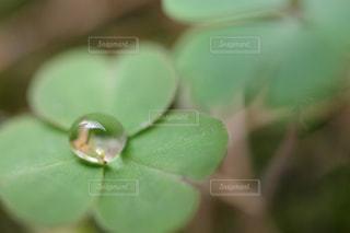 水,葉っぱ,水滴,葉,三つ葉,クローバー,水玉,昼,雨上がり,雫,しずく