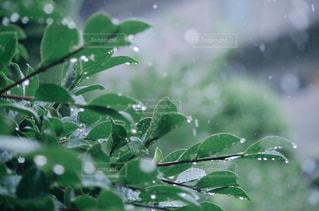 木,雨,水,葉っぱ,水滴,葉,水玉,雫,しずく,雨の日