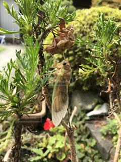 夏,蝉,蝉の羽化