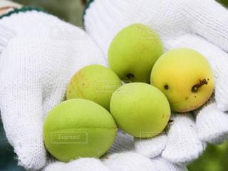 梅の収穫の写真・画像素材[475910]