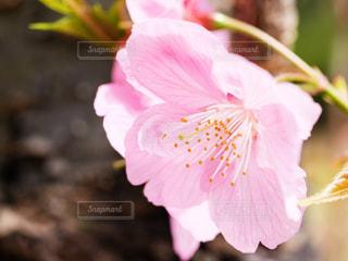 桜の花びらの写真・画像素材[866322]