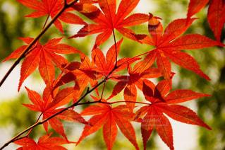 木の枝に赤の花を持つ植物の写真・画像素材[842216]