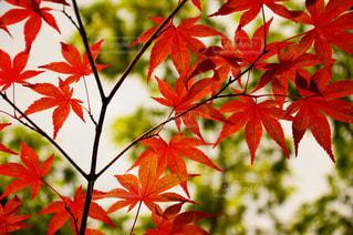 木の枝に赤の花を持つ植物の写真・画像素材[845812]