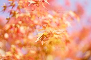 とろける紅葉の写真・画像素材[848035]