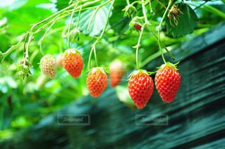 近くに果物の - No.910197