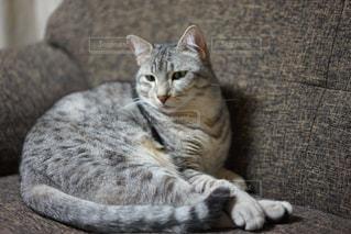 ソファで横になっている猫 - No.981112