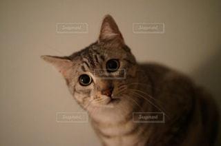 カメラを見ている猫 - No.981118