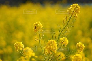 春,庭,東京,きれい,黄色,菜の花,都会,庭園,イエロー,菜の花畑,黄,浜離宮