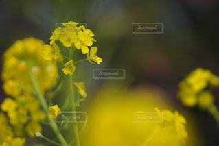 風景,花,春,庭,東京,黄色,菜の花,庭園,外,日本,イエロー,菜の花畑,黄,浜離宮