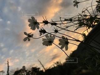 曇りの日にピンクの花の木の写真・画像素材[956966]