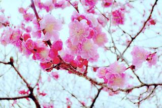 自然,春,屋外,京都,ピンク,花見,お花見,北野天満宮,梅園