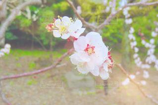 自然,花,春,屋外,京都,ピンク,花見,お花見,北野天満宮,梅園