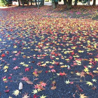 路面に落ちた紅葉たち🍁の写真・画像素材[866586]