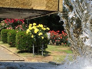 水,水滴,薔薇,薔薇園