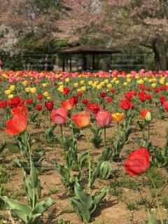 公園,花,春,チューリップ,埼玉県,葉桜,花の丘公園