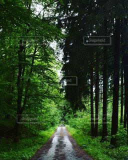フォレスト内のツリーの写真・画像素材[1239351]