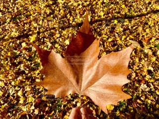 秋の落ち葉の写真・画像素材[1615794]