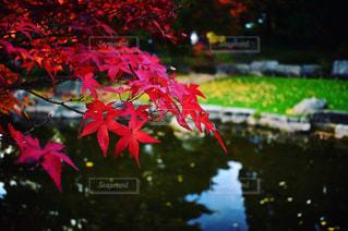 秋の紅葉の写真・画像素材[1620093]