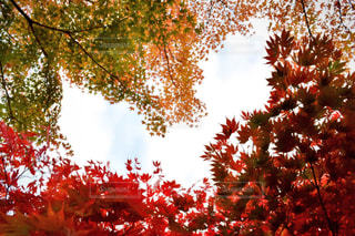 ハートの紅葉の写真・画像素材[1620098]