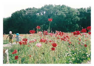 子ども,自然,公園,花,花畑,お花,子供,ポピー,フィルム,兄弟,ツーショット,2人