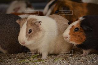 茶色と白の齧歯動物の写真・画像素材[740062]