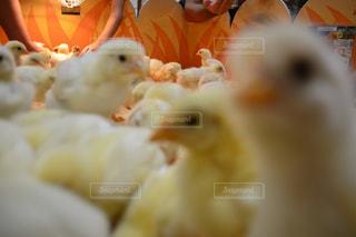 近くに鶏のアップの写真・画像素材[740069]