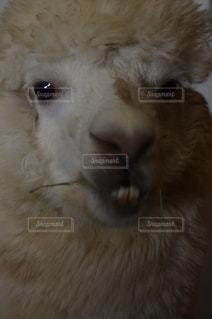 近くにカメラを見て白い動物のアップの写真・画像素材[781470]
