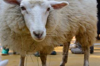 近くに羊のアップ - No.781471