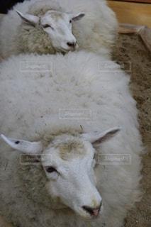 囲いの中の羊のグループの写真・画像素材[781472]