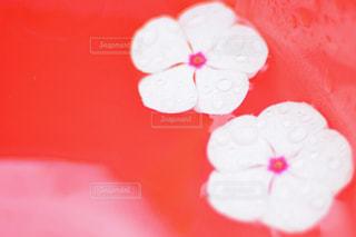 赤白とピンクの花の写真・画像素材[813898]