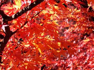 大きな木の写真・画像素材[851970]