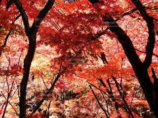 森の大きな木の写真・画像素材[851971]