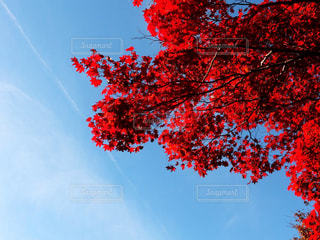 赤と青の空と木の写真・画像素材[851985]