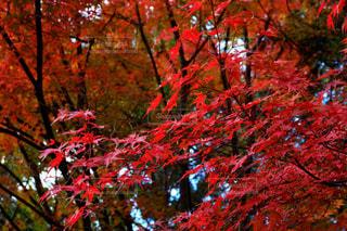 森の中の赤いツリーの写真・画像素材[851987]