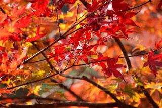 木の枝に赤の花を持つ植物の写真・画像素材[851989]