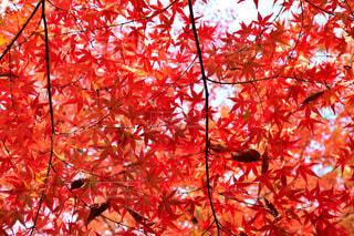 大きな木の写真・画像素材[851993]