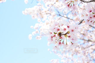 木にピンクの花のグループの写真・画像素材[855928]