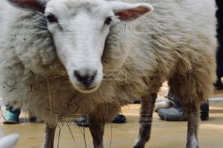 近くに羊のアップの写真・画像素材[888511]