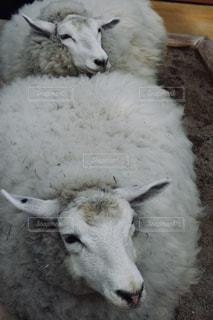 囲いの中の羊のグループの写真・画像素材[888513]