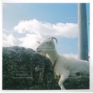 空,動物,屋外,羊,沖縄,旅行,ヤギ,山羊,フィルム,波照間島,哺乳類