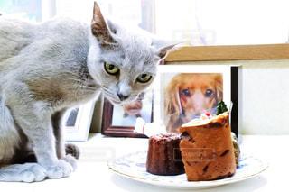 猫,冬,ケーキ,屋内,白,テーブル,座る,クリスマス,ロシアンブルー